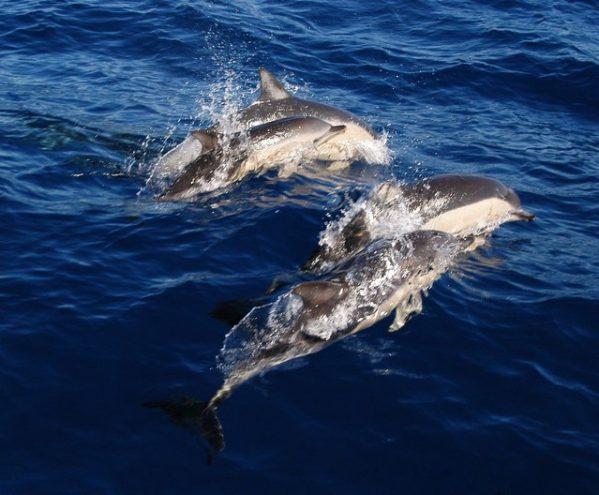 Avistamiento de delfines – Tenerife Sur